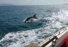 Dolphin escorting us to K
