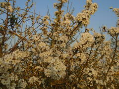 Blackthorn blossom at Lodmoor